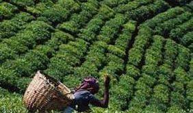 تولید کننده چای