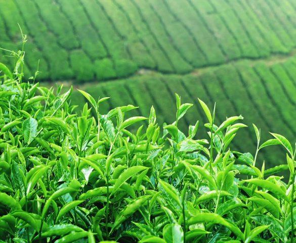 چای ایرانی ارگانیک