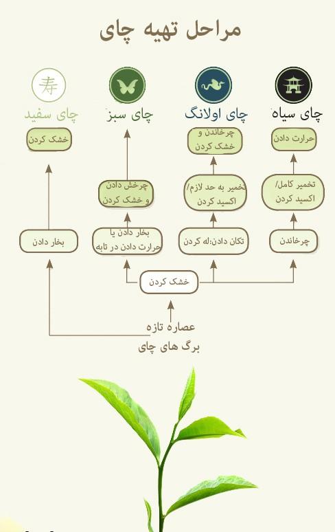شیوه تولید چای شمال