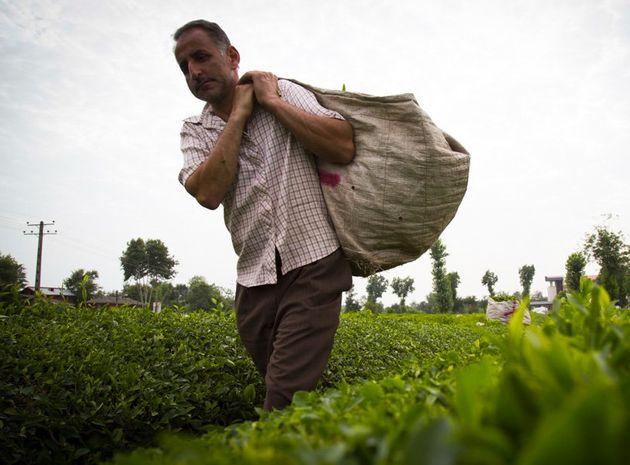 خرید چای ایرانی از شمال