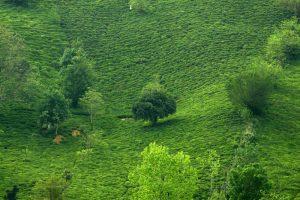 فروش چای لاهیجان اصل