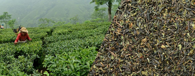 چای ارگانیک ایرانی
