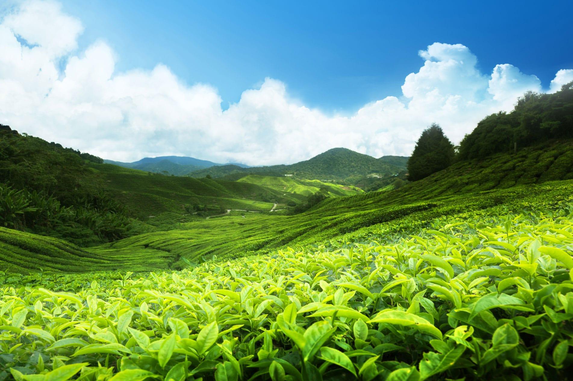 چای قلم ایرانی شمال