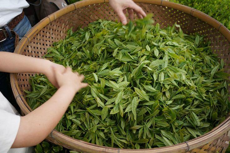 فروش چای سرگل بهاره لاهیجان