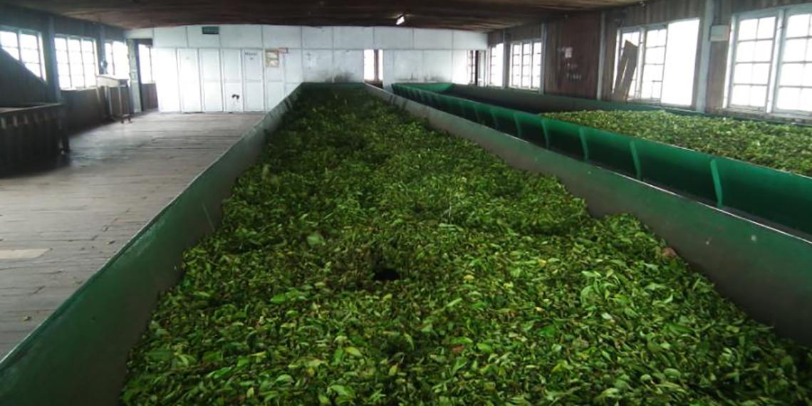 فروش چای سنتی و ارگانیک ایرانی عمده