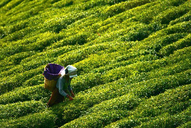 قیمت خرید چای بهاره گیلان