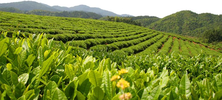 خرید چای سیاه شمال بهاره