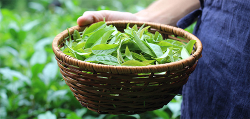 قیمت خرید و فروش چای بهاره